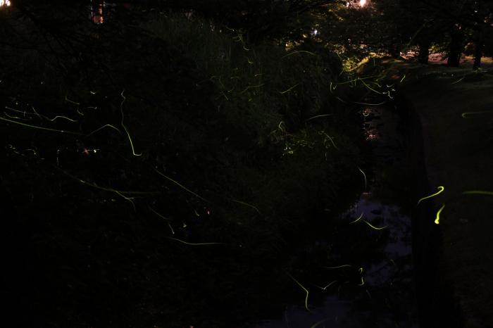 弥彦公園のホタル